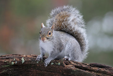 northern gray squirrels